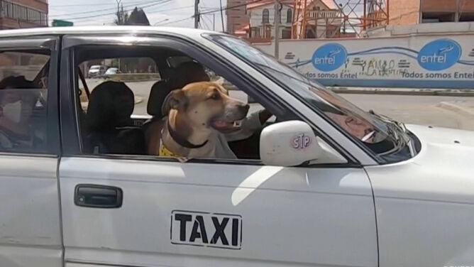 O psie, który jeździ taksówką. I pomaga innym zwierzakom