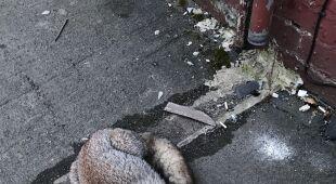 Lis utknął w plastikowym pojemniku (RSPCA)