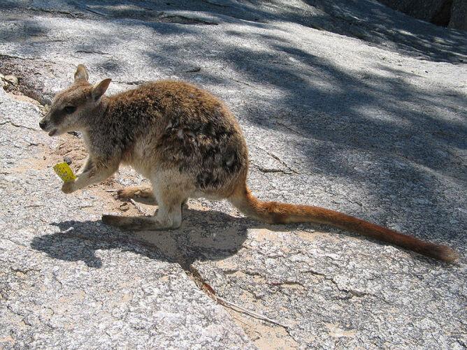 Skalniak brązowoogonowy (Wikipedia/domena publiczna)