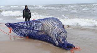 Martwy wieloryb na bałtyckiej plaży (Stacja Morska UG w Helu,PAP/EPA)