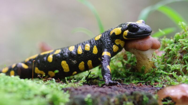 Salamandra plamista (flickr/Aah-Yeah (CC BY-SA 2.0))