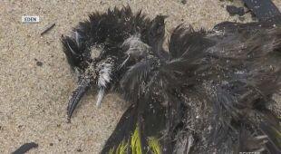 Martwe ptaki na plaży w mieście Eden
